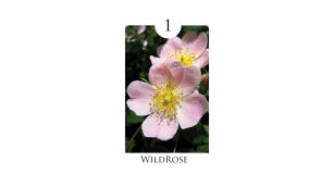 1 wild_rose