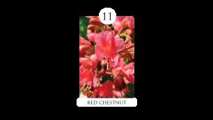 11 red_chestnut