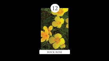 12 rock rose