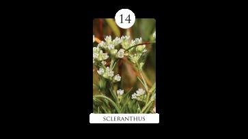 14_scleranthus