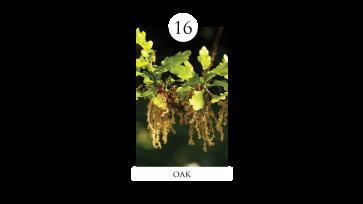 16 oak