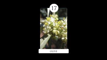 17 olive