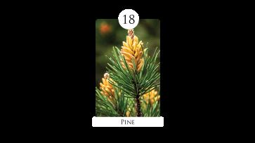 18 pine