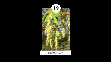 19 hornbeam