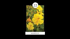 22 mimulus