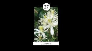 27 clematis