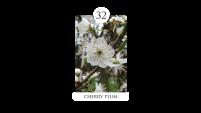 32 cherry plum