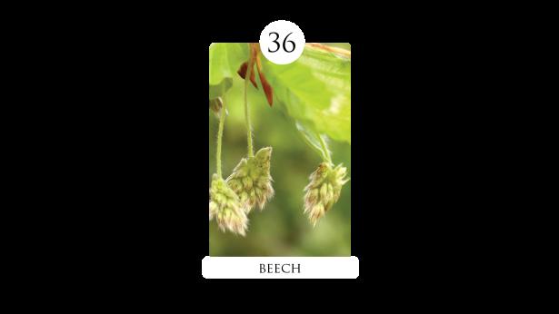 36 beech