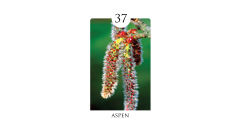 37 aspen