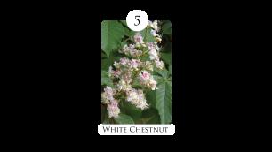 5 white_chestnut