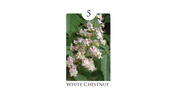 5 white_chestnut