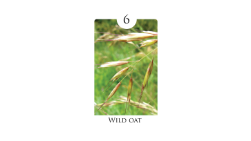 6_wild_oat
