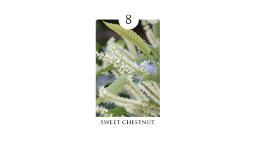 8_sweet_chestnut